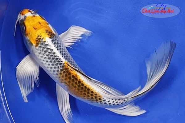 giá cá chép Nhật đuôi dài